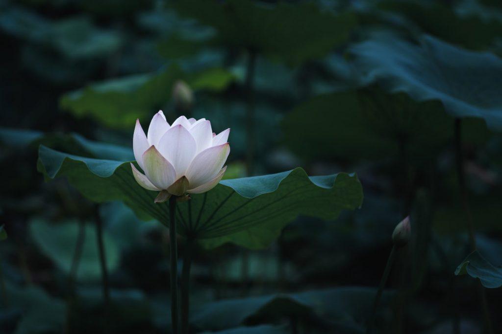 Manfaat bunga teratai dalam skincare